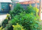 A 420 Pot Plantation Grows Outside Mexico's Senate